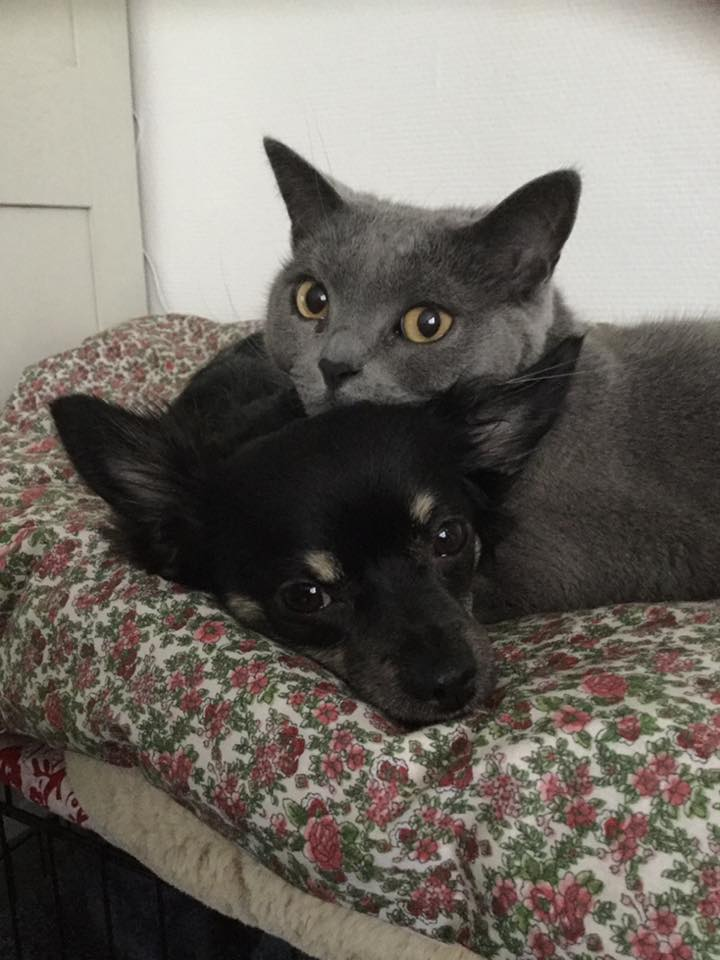 chihuahua-et-chat