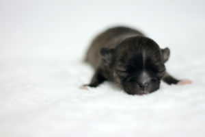 chihuahua-bringe-poils-longs