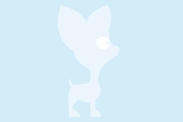 chihuahua-chiot-poils-longs
